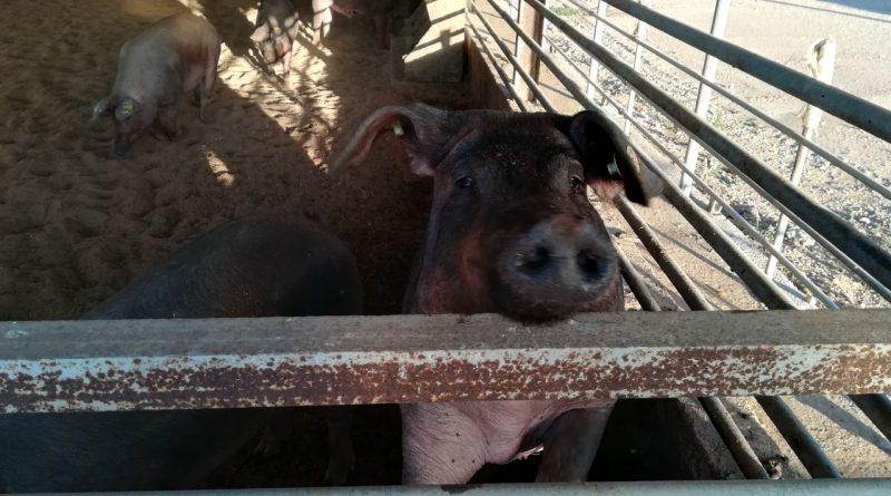 Macrogranjas de cerdos